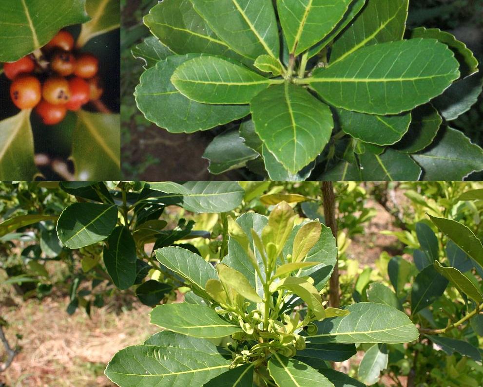 Чай матэ: польза и вред парагвайского чая, свойства, состав