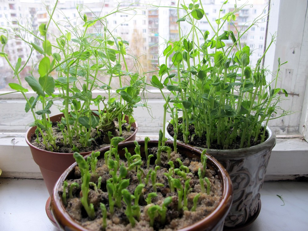 Как вырастить горох в домашних условиях