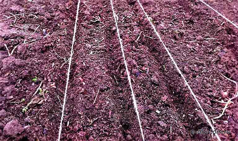 Посадка свеклы семенами и рассадой в открытый грунт