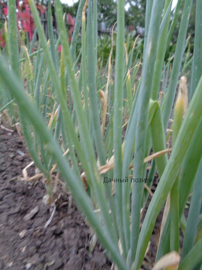 Лук-батун: выращивание и уход, почему он желтеет на грядке и что с этим делать, фото