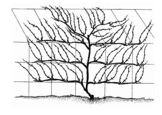 Подвязка винограда