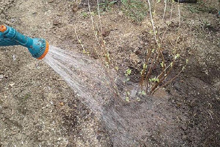 Осеннее внесение удобрений: чем подкормить сливу