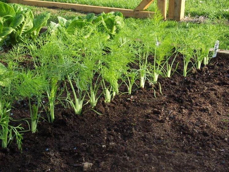 Как выращивать фенхель в открытом грунте: уход и лайфхаки садоводов