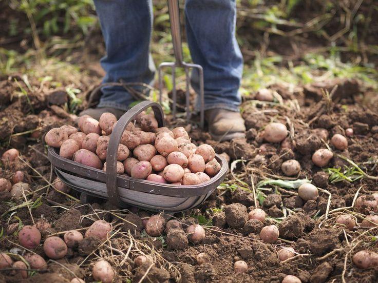 Посадка картофеля второй раз за лето: сроки, подходящие сорта, видео и отзывы