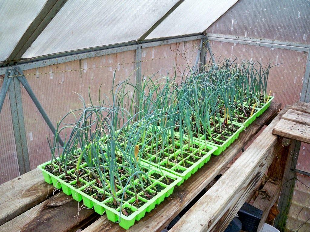 Выращивание лука через рассаду в 2021 году