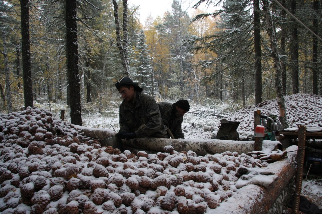 Когда собирают кедровые орехи, способы добычи