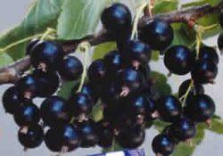 Смородина зеленая: описание и характеристика сортов, посадка и уход с фото