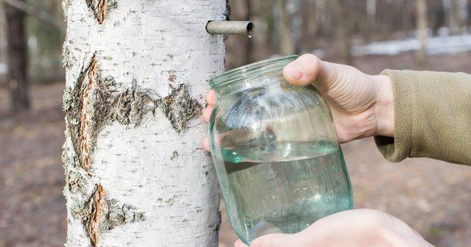 ТОП 13 рецептов, как в домашних условиях законсервировать березовый сок на зиму