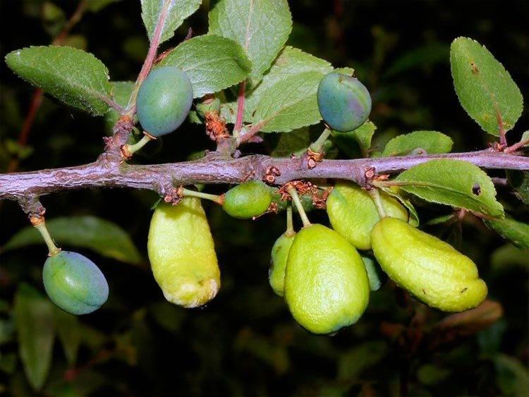 Почему абрикос сбрасывает зеленые плоды: наиболее частые причины и лечение