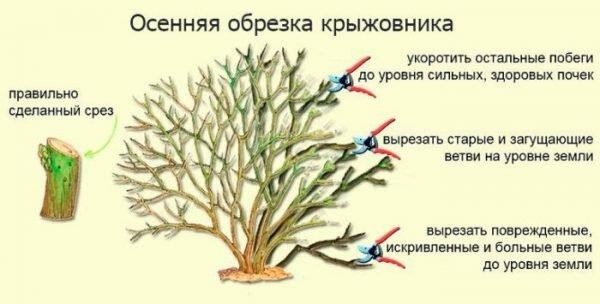 ᐉ как привить крыжовник на крыжовник - godacha.ru