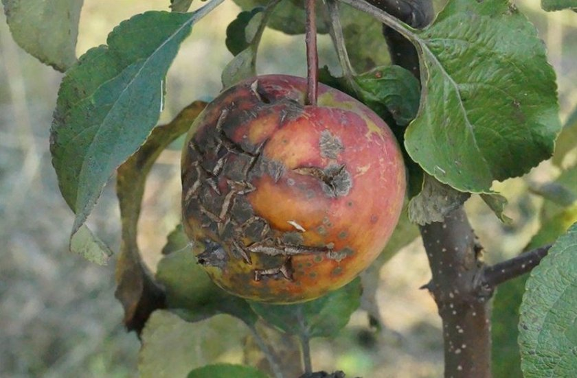 Описание вредителей яблони и методов борьбы с ними