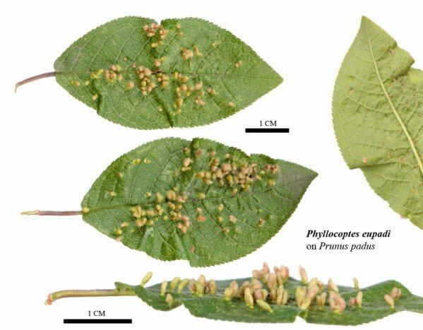 Галловый клещ на груше на листьях: чем обработать