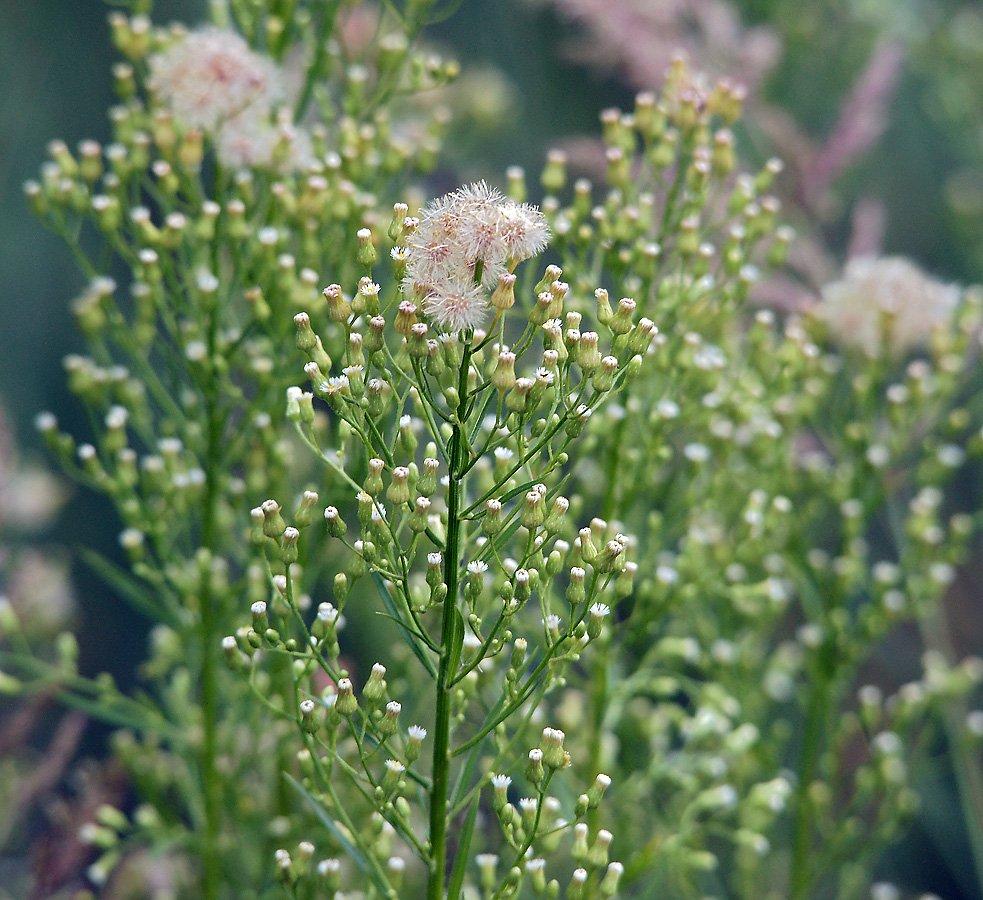 Трава заткни гузно применение. где растет и как выглядит мелколепестник канадский | дачная жизнь
