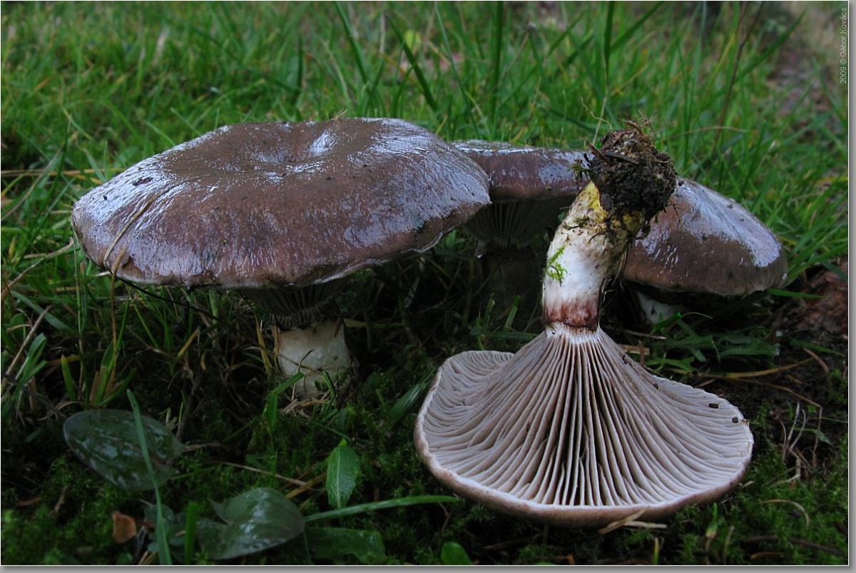Мокруха еловая: описание, применение, польза и вред. фото гриба