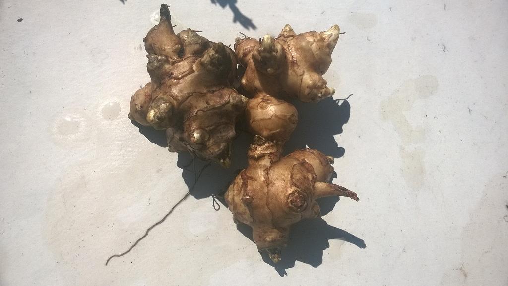 Топинамбур: выращивание