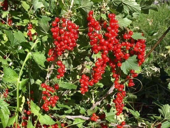 Сорт красной смородины натали - описание, отзывы