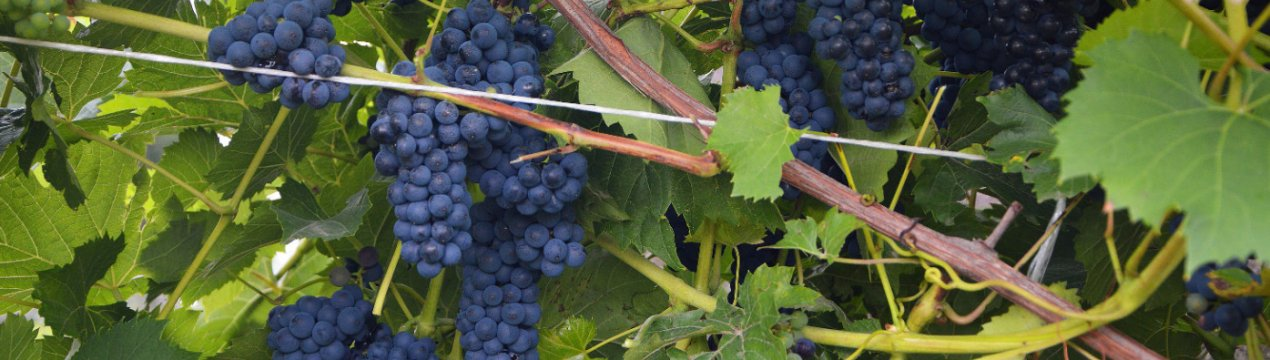 Черный виноград молдова: описание сорта, его особенности и фото