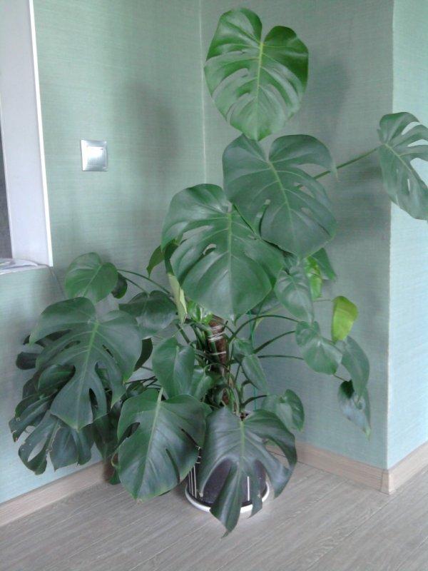 Тропическая красотка монстера: уход за лианой в домашних условиях