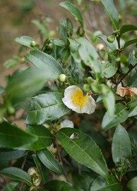 Camellia sinensis -камелия китайская, чайное дерево