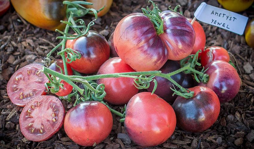 Томат аметистовая драгоценность: описание сорта, отзывы, фото, урожайность | tomatland.ru