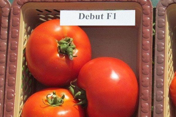 Томат дебют: описание и характеристика, отзывы, фото, урожайность   tomatland.ru