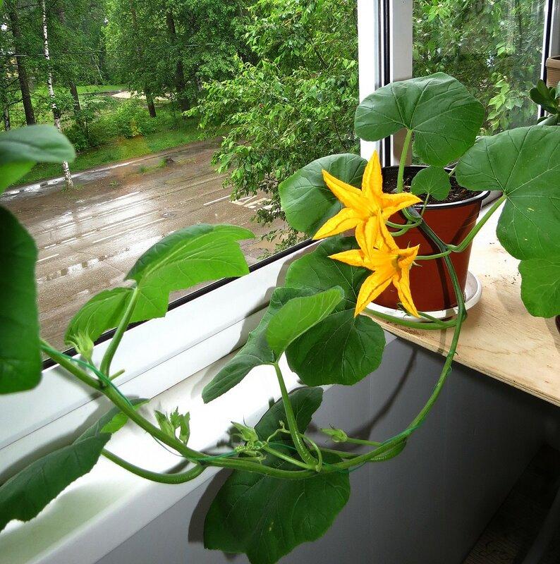 Абуз на балконе: выращивание, уход   как вырастить дыню или тыкву на балконе