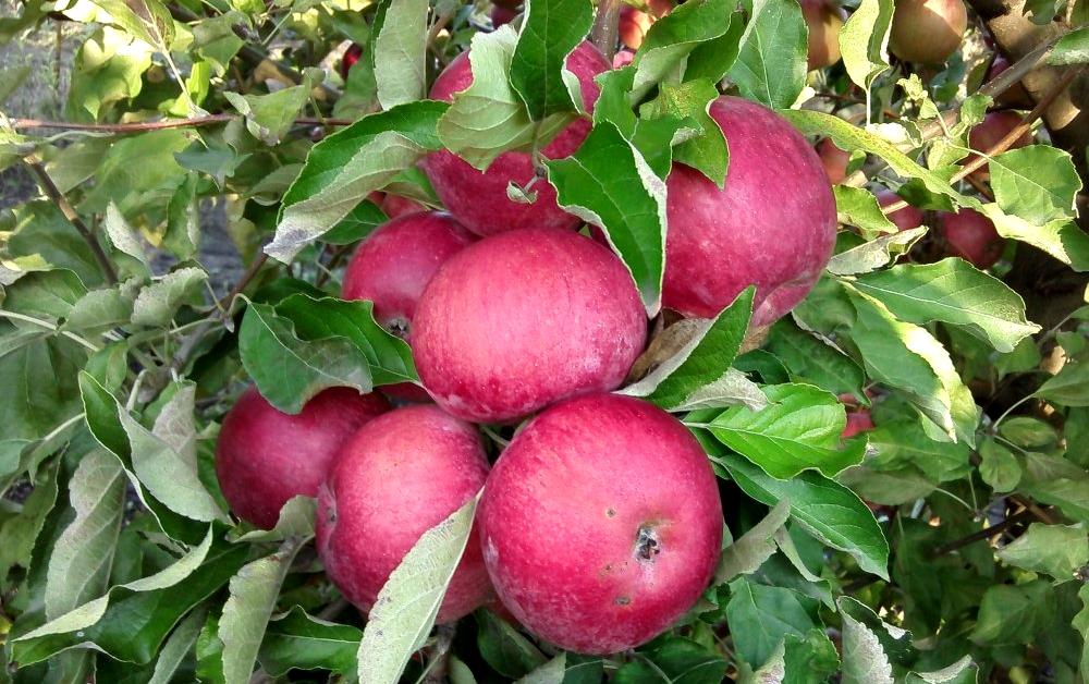 Яблоня фуджи: описание сорта, советы по посадке и уходу