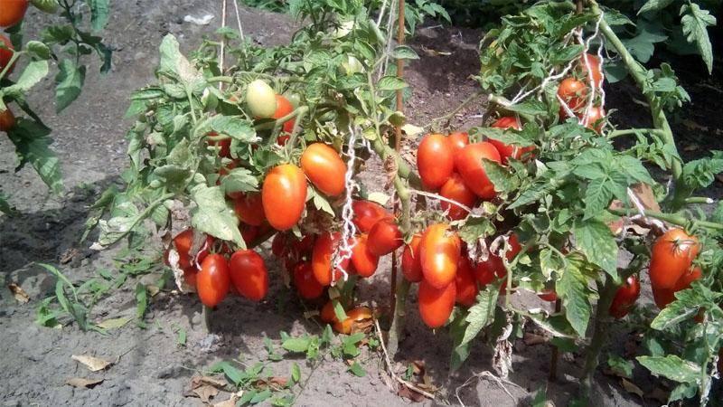 """Томат """"дебют"""" f1: описание и характеристики сорта, рекомендации по выращиванию хорошего урожая помидор русский фермер"""
