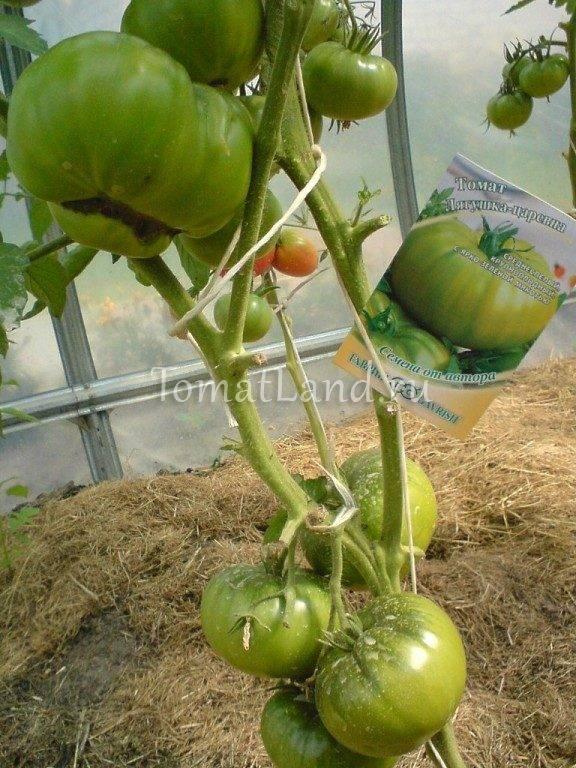 Томат царевна лягушка: характеристика и описание зеленоплодного сорта с фото