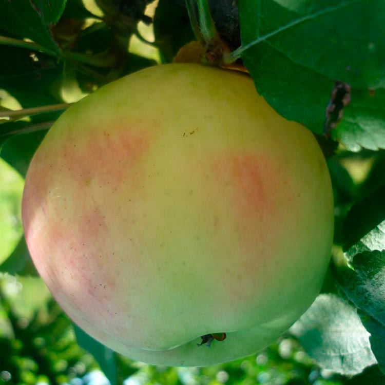 Отличные летние сорта яблонь для подмосковья