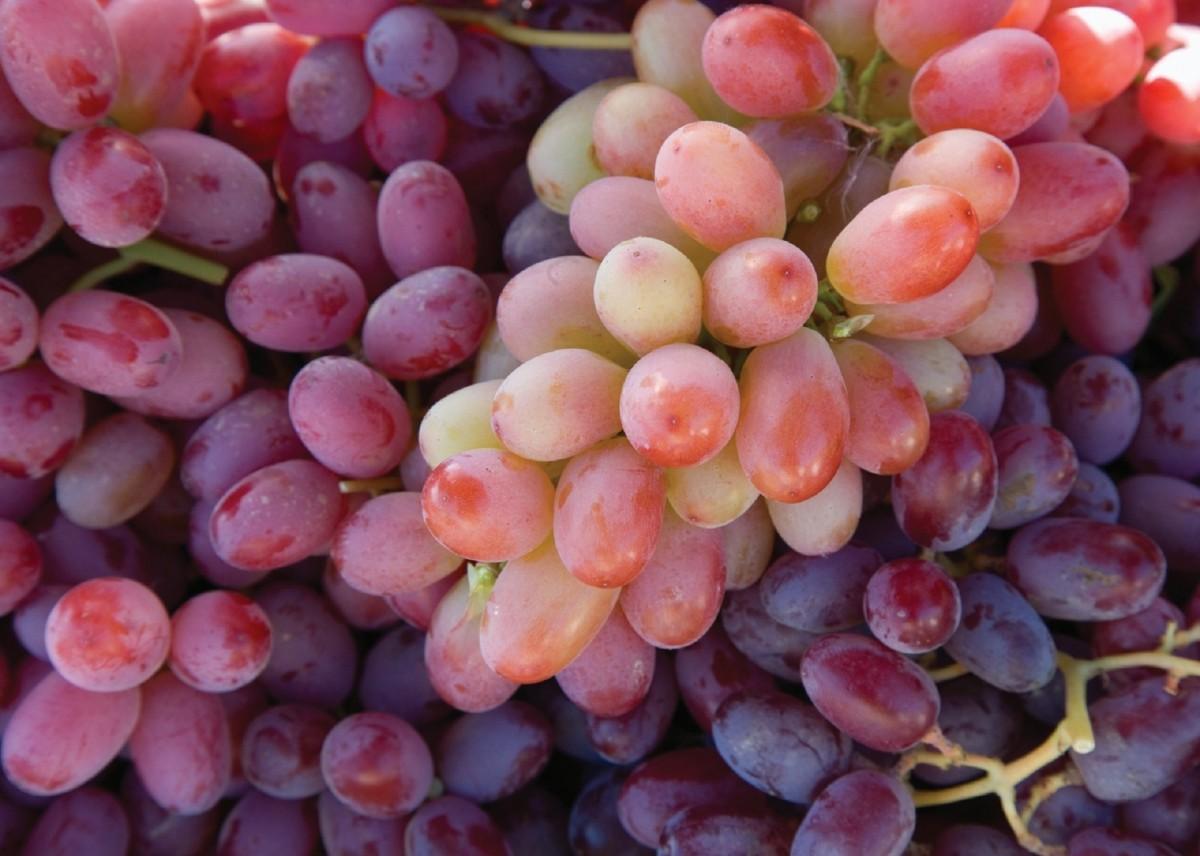 Виноград тайфи (белый и розовый): описание сорта, особенности выращивания, фото и отзывы
