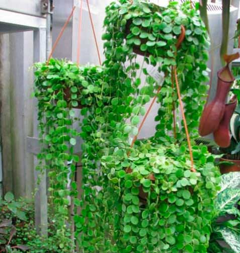 Ампельные растения на даче и дома