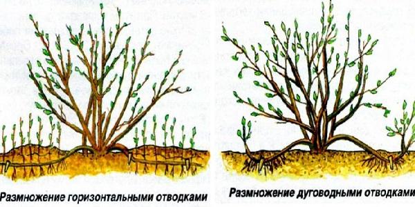 Выращивание трехлопастного миндаля