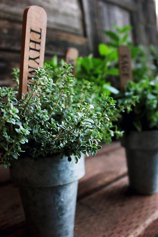 Тимьян: выращивание из семян и уход, методики посадки в открытом грунте и на рассаду, размножение в домашних условиях, как обрезать зимой, подготовка