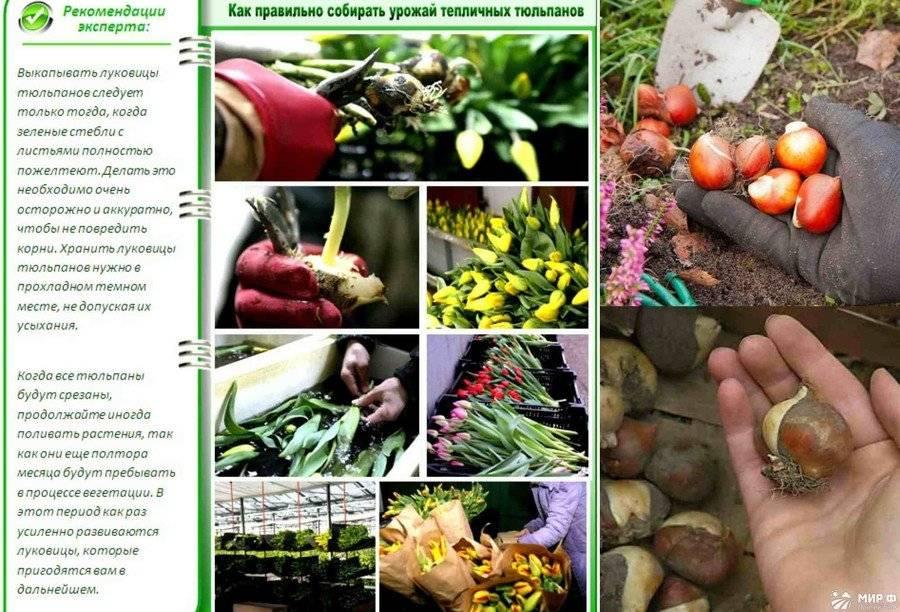 Три способа хранения луковиц тюльпанов до посадки
