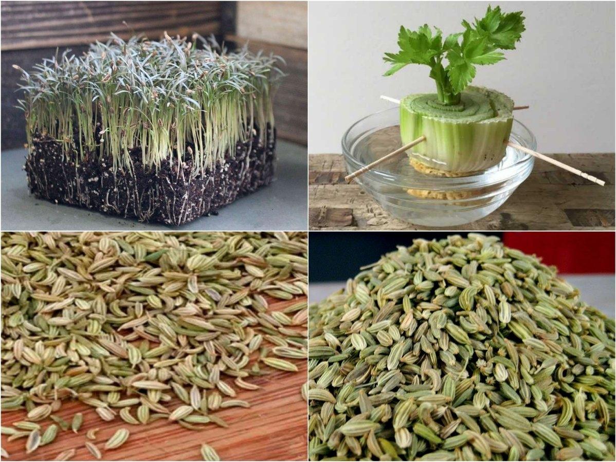 Семена фенхеля: советы, когда, как и рядом с чем сажать на грядке и можно ли сеять сразу в отрытый грунт, а также фото и инструкция по выращиванию рассадой русский фермер