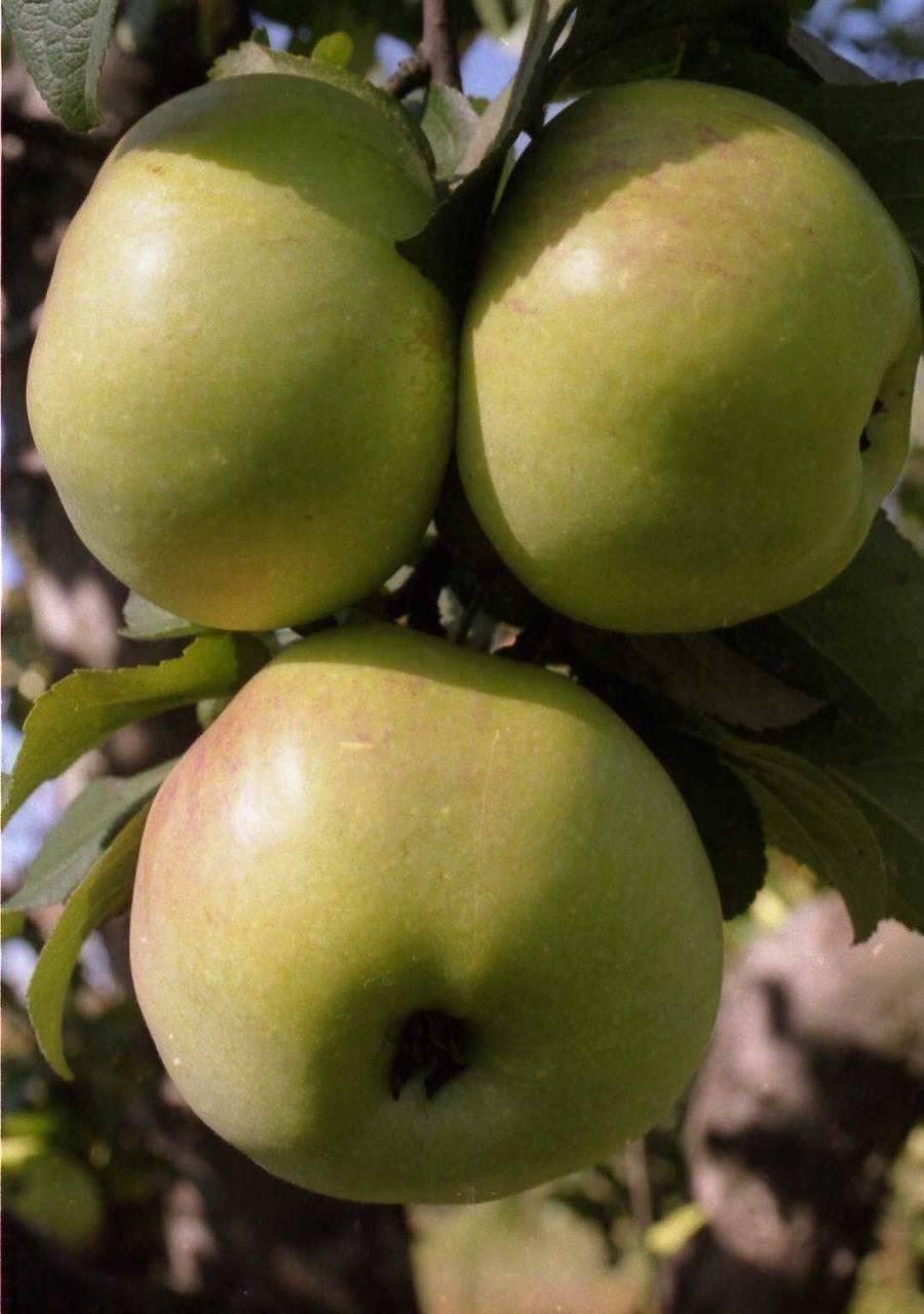 Яблоня имрус: описание, фото, отзывы