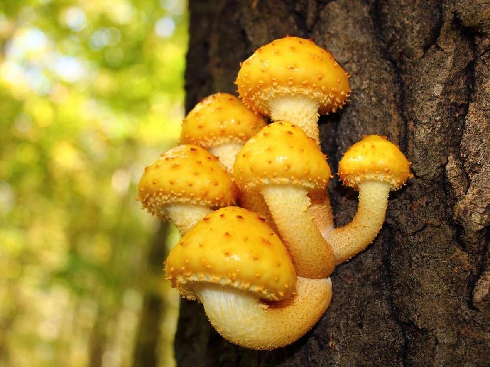 Королевский опенок (чешуйчатка золотистая): как выглядит гриб, сезон и места сбора, как готовить