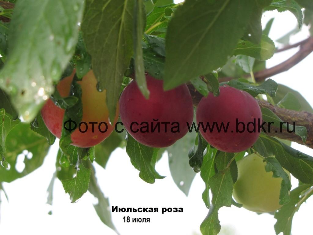 Алыча: посадка и уход в средней полосе, сорта и выращивание