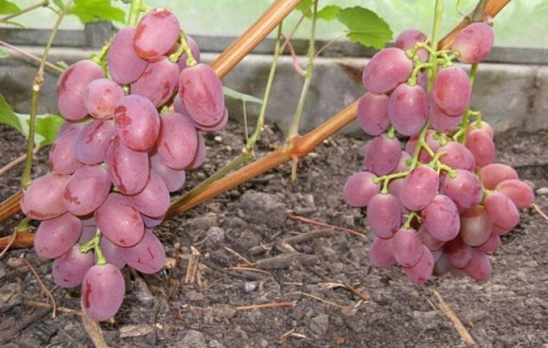 Виноград виктория: особенности сорта, советы по уходу и разведению