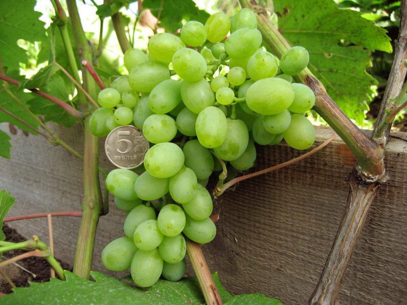Виноград гарольд, где культивируют, как выращивать и ухаживать, сбор