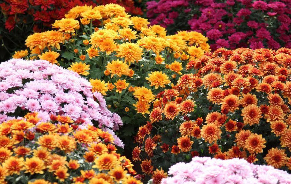 Многолетние цветы для урала и сибири, цветущие все лето: фото и названия популярных многолетников