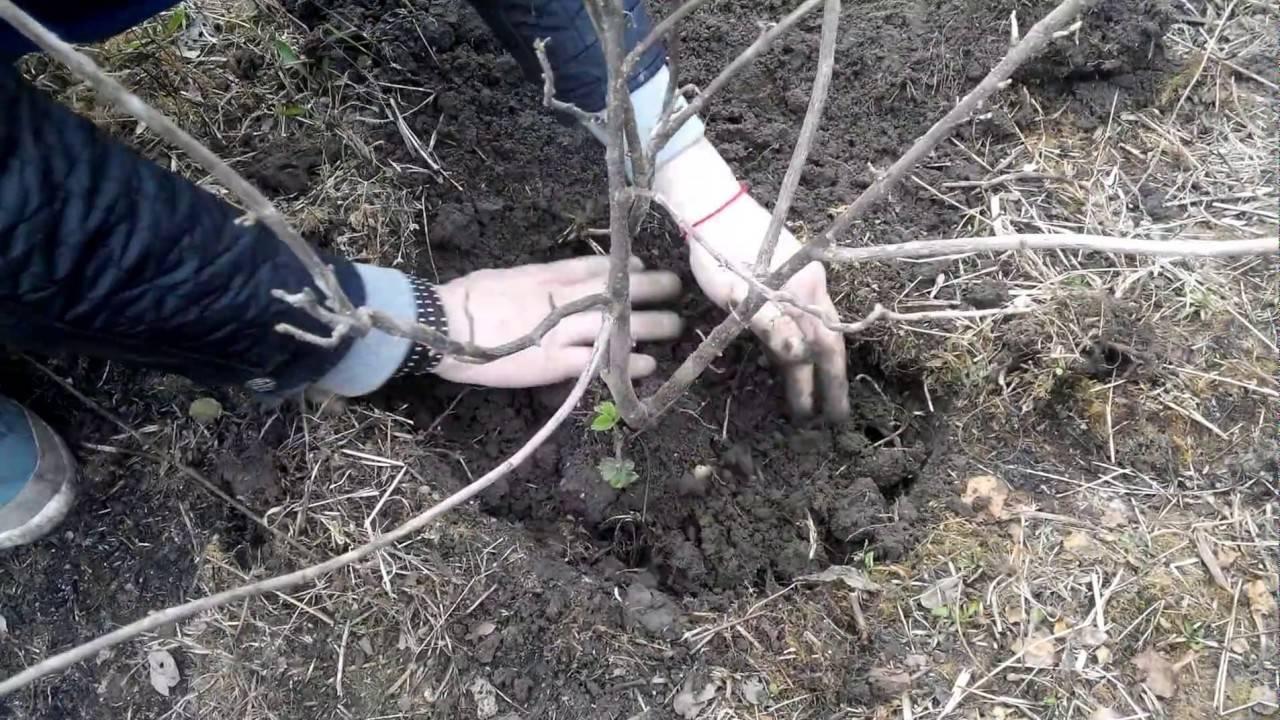 Как пересадить смородину весной на новое место: подготовка, особенности