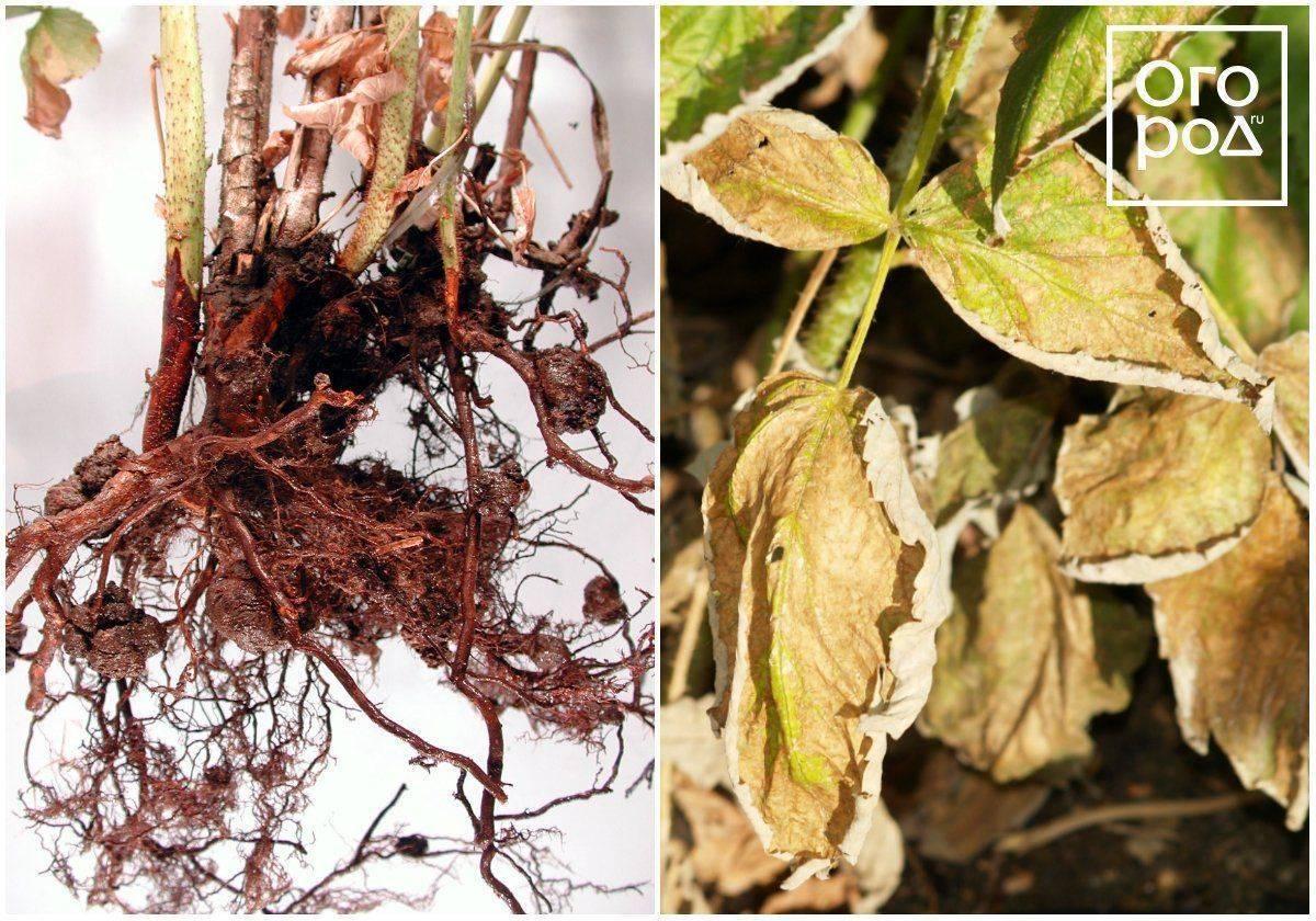 Почему сохнет малина и что делать, чтобы спасти урожай и растение