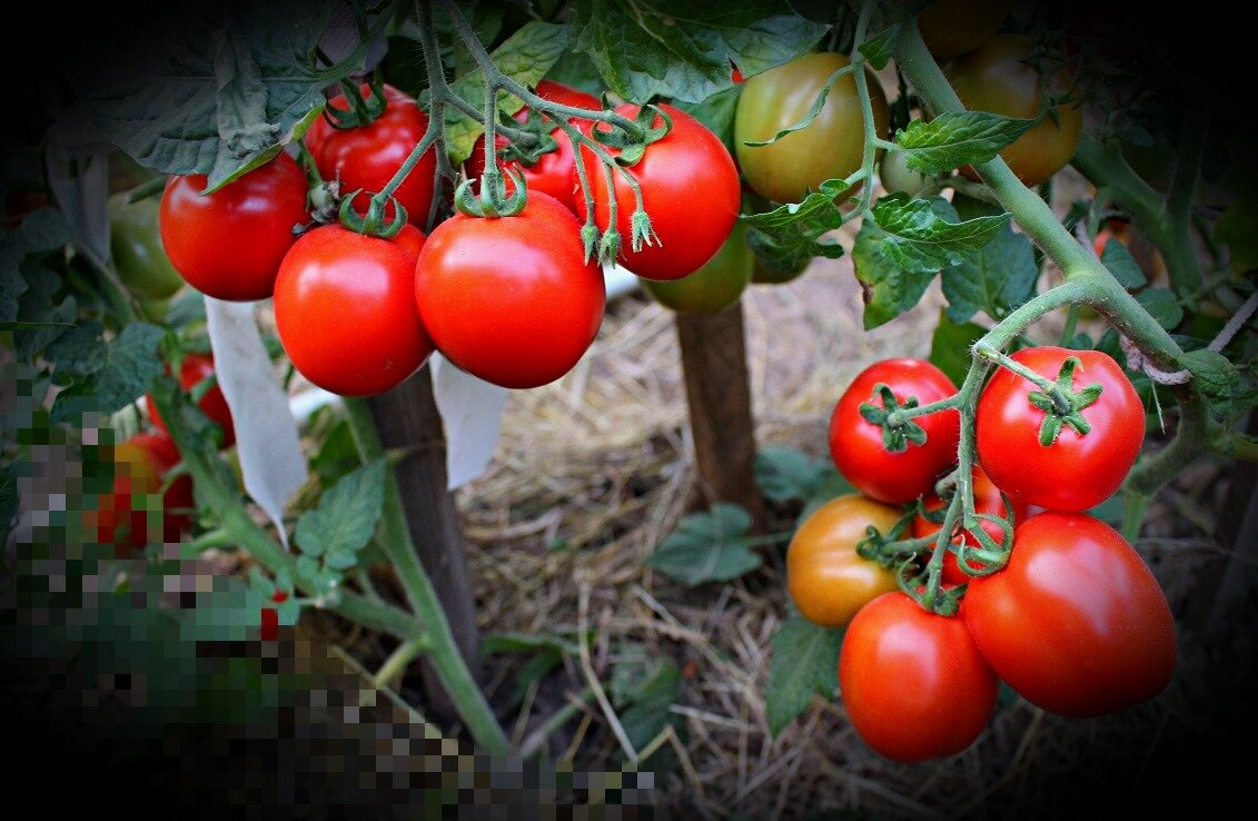 Лучшие сорта томатов для юга россии в открытом грунте - про сорта