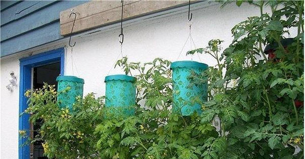Можно ли посадить помидоры вверх корнями