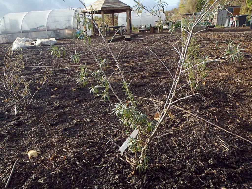 Посадка облепихи, в том числе весной, подготовка почвы, расположение мужских и женских растений