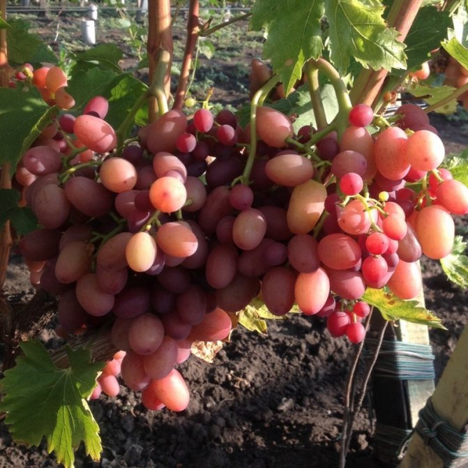 Виноград гелиос: описание сорта, фото, отзывы
