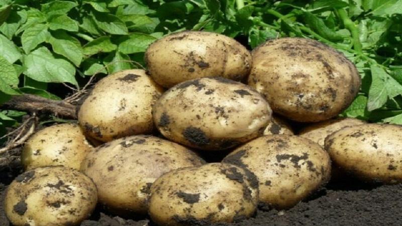 Картофель коломбо: характеристика сорта, отзывы, вкусовые качества, посадка и уход