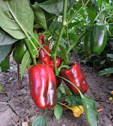 Перец богатырь: характеристика и описание сорта, урожайность с фото